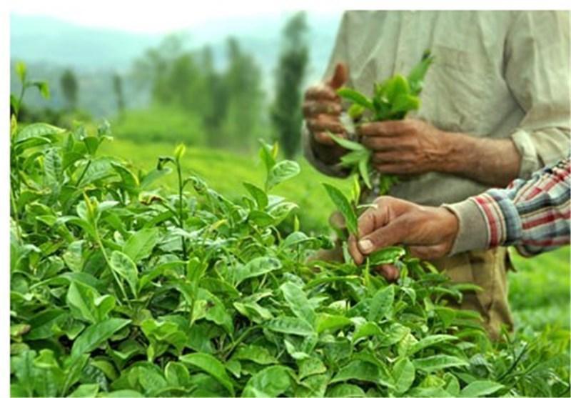 سرانجام مهلت خرید برگ سبز چای