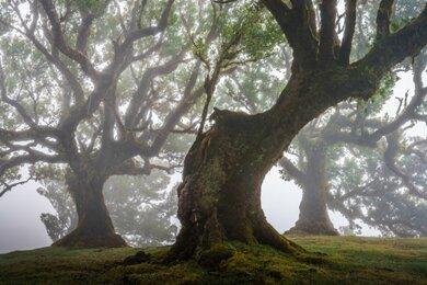 جنگل های باستانی و مسحور کننده مادیرا با درختان 500 ساله