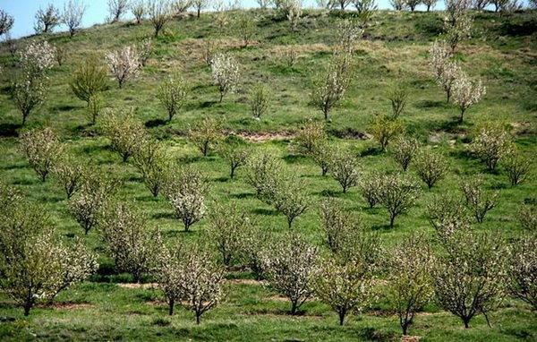 کشت 7000 هکتار باغات دیم در اراضی شیب دار لرستان