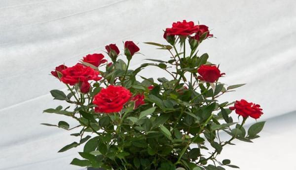 طبع گل سرخ ؛ معرفی مزاج، مصلحات و خواص کاربردی آن
